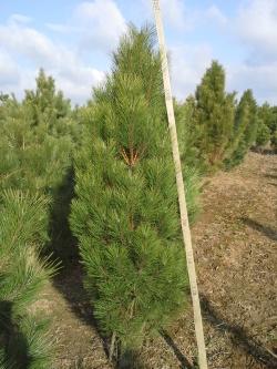 Pinus nigra pyramidalis e