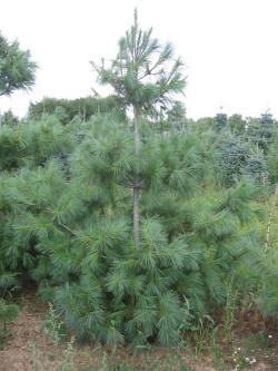 Pinus strobus 1