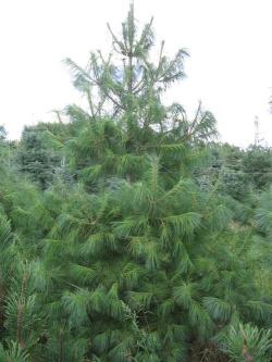 Pinus strobus 2