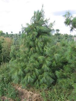 Pinus strobus (3)