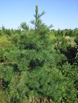 Pinus strobus b
