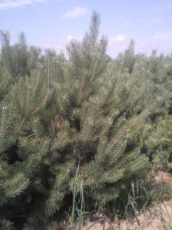 Pinus sylvestris (2)