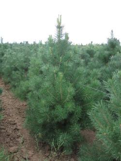 Pinus sylvestris 2