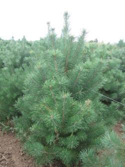 Pinus sylvestris (3)