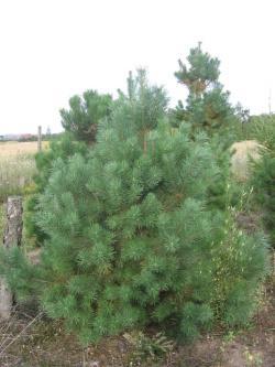 Pinus sylvestris 3