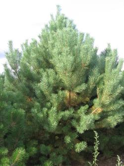Pinus sylvestris 4
