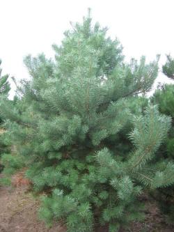 Pinus sylvestris 5