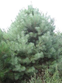 Pinus sylvestris 6