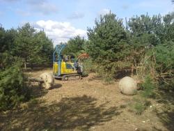 Pinus sylvestris vyrývání