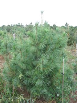 Pinus wallichiana (3)