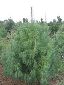 Pinus wallichiana 3