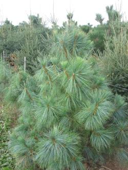 Pinus wallichiana 4 (2)