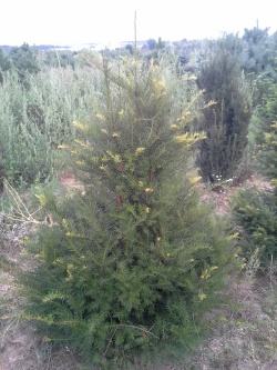 Taxus baccata c