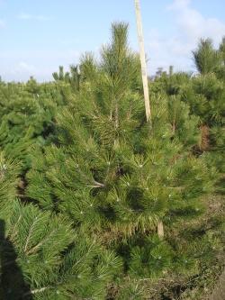 Pinus nigra Arnold d